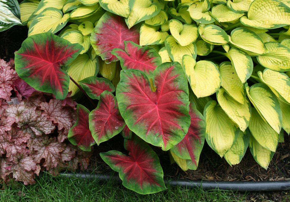 Tropical Annual Caladiums Gives Summer Long Drama Pittsburgh
