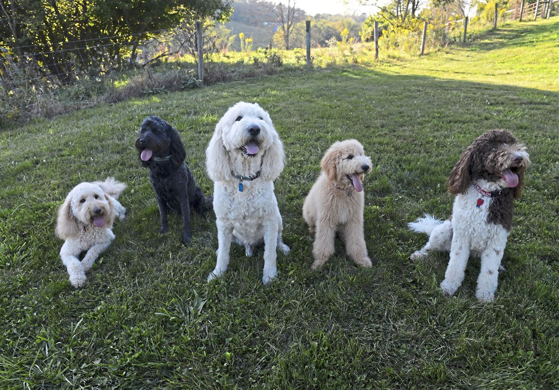 The Meteoric Rise Of The Oodle And Other Cross Breed