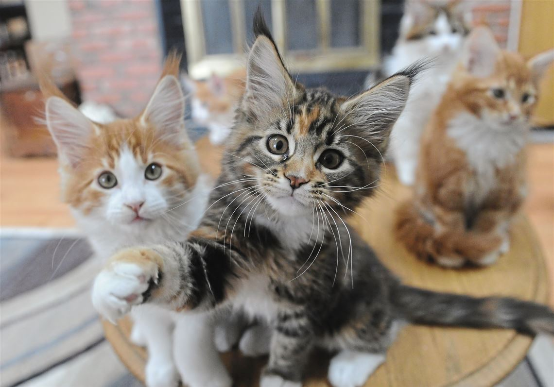Pet Tales: Maine Coon kittens put on a show before the big