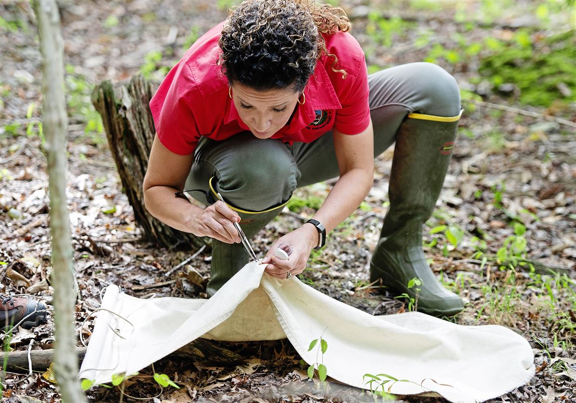 Leah Lamonte, vector control specialist for the Allegheny County Health Department, looks for blacklegged ticks in their nymph stage after dragging a cloth along a trail in Hartwood Acres on July 30, 2020, in Allison Park.