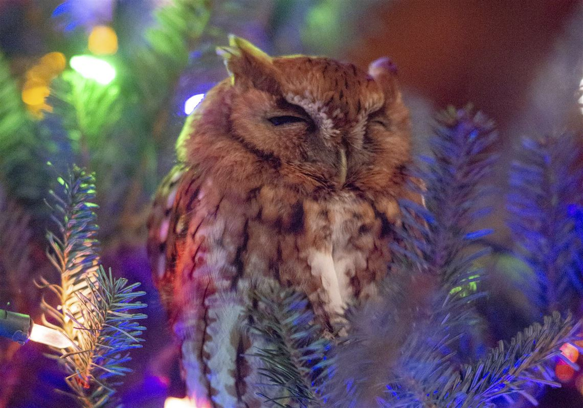 Whoo's there? Georgia family finds owl in Christmas tree ...