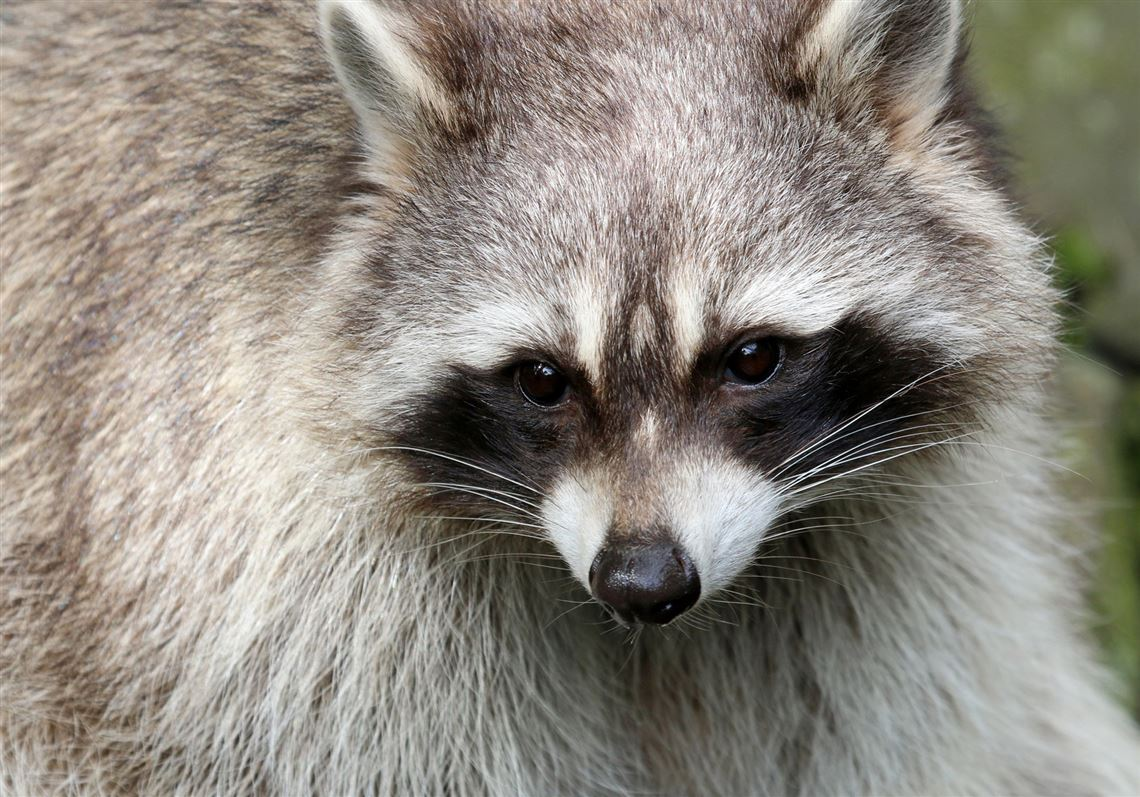 Rabid raccoon found in Etna