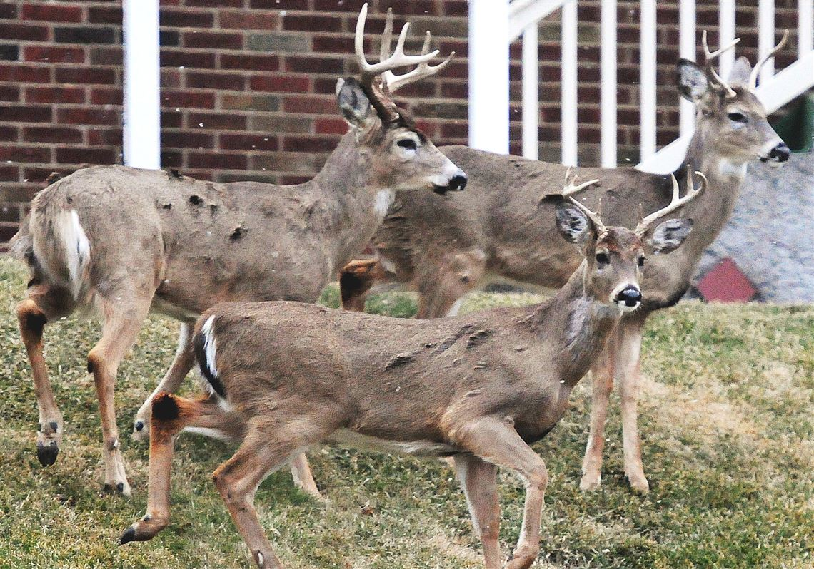 Game Commission wants ban on feeding deer, but request faces opposition