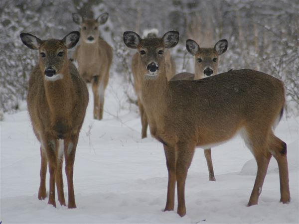 Don't feed does: Deer corn can kill neighborhood whitetails